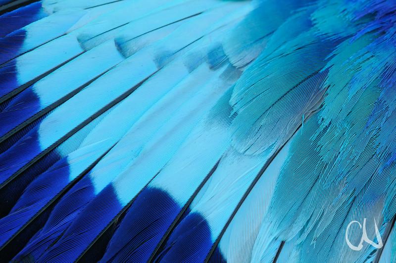 Nahaufnahme der Schwinge einer Gabelracke, Coracias caudata, Straßenopfer, Flügel, Feder, Schwungfeder, Mapungubwe Nationalpark, Limpopo, Südafrika, feather detail of Lilac-breasted Roller, road kill, South Africa