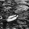 B\W Duck Dayton, OH 1998. Ilford HP5