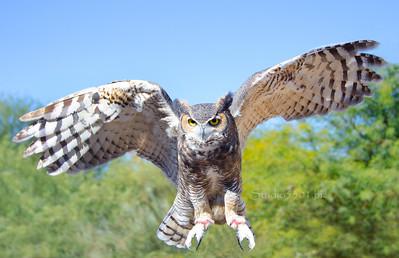 Owl_fly 3 8614 -2sRGB