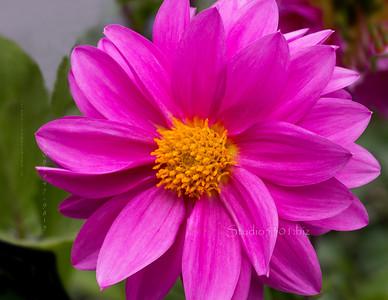 Pink britr Flower 3401 2