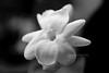 BW_flower_confederate_jasmine_1259
