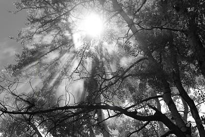 flare_angel_rays_forest_trees_sun_smoke_fog_DD1_4337_bw