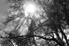 flare_angel_rays_forest_trees_sun_smoke_fog_DD1_4337_bw