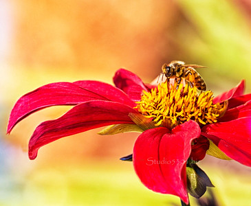 Bee_red Yellow flower ID 1267cf PL-2sRGB +yel red