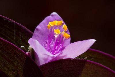 Purple_AV_3157-2sRGB