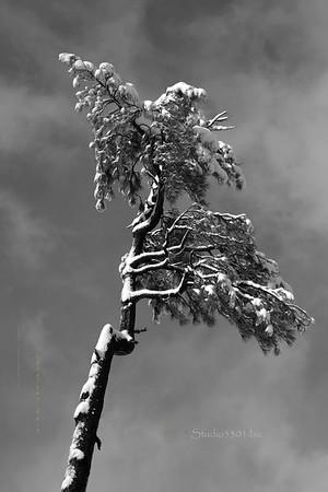 snow_tree_bw_o