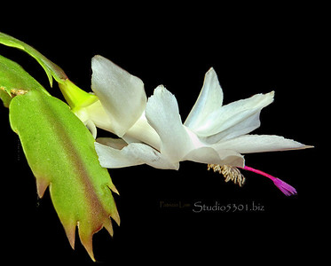 Xmas cactus bloom 2 bst white flower PatL