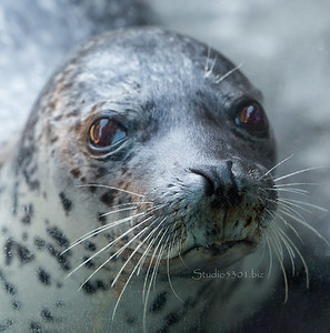 Spotted seal face 1817cf DEx some