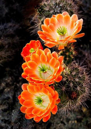 Orange cactus sRGB 0604cf Frank S  PL edit