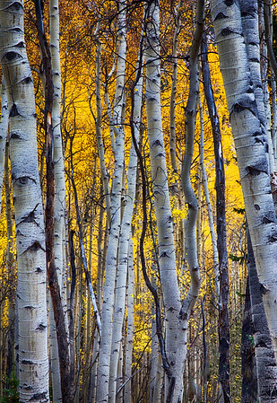 Aspen sRGB tree trunks 6979 hd3