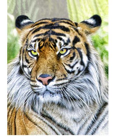 Tiger sRGB 11x14 8682