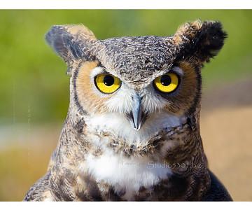 Who  owl yel eye 4 8623 bst -2sRGB