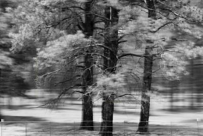 blur_pine_trees_AV_4808_bw David D
