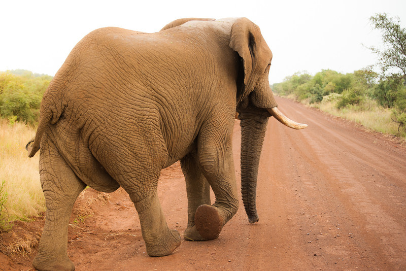 Sorry to See you Go. Elephant, Madikwe Game Reserve, South Africa.
