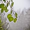Aspen leaves in the rain