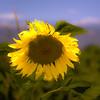 Solar Sun Flower