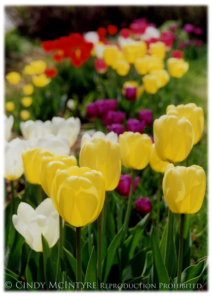 Feast of Tulips - V copy