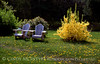 Two Chairs and Forsythia copy