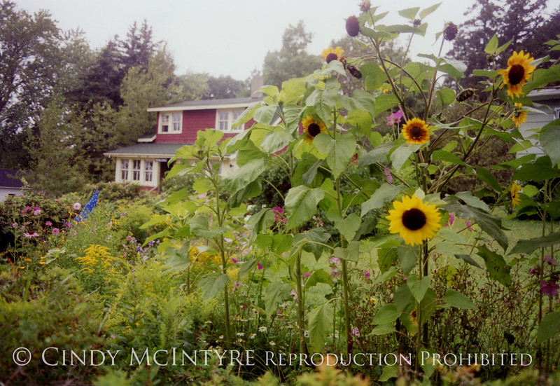 Sunflowers and Roseledge copy