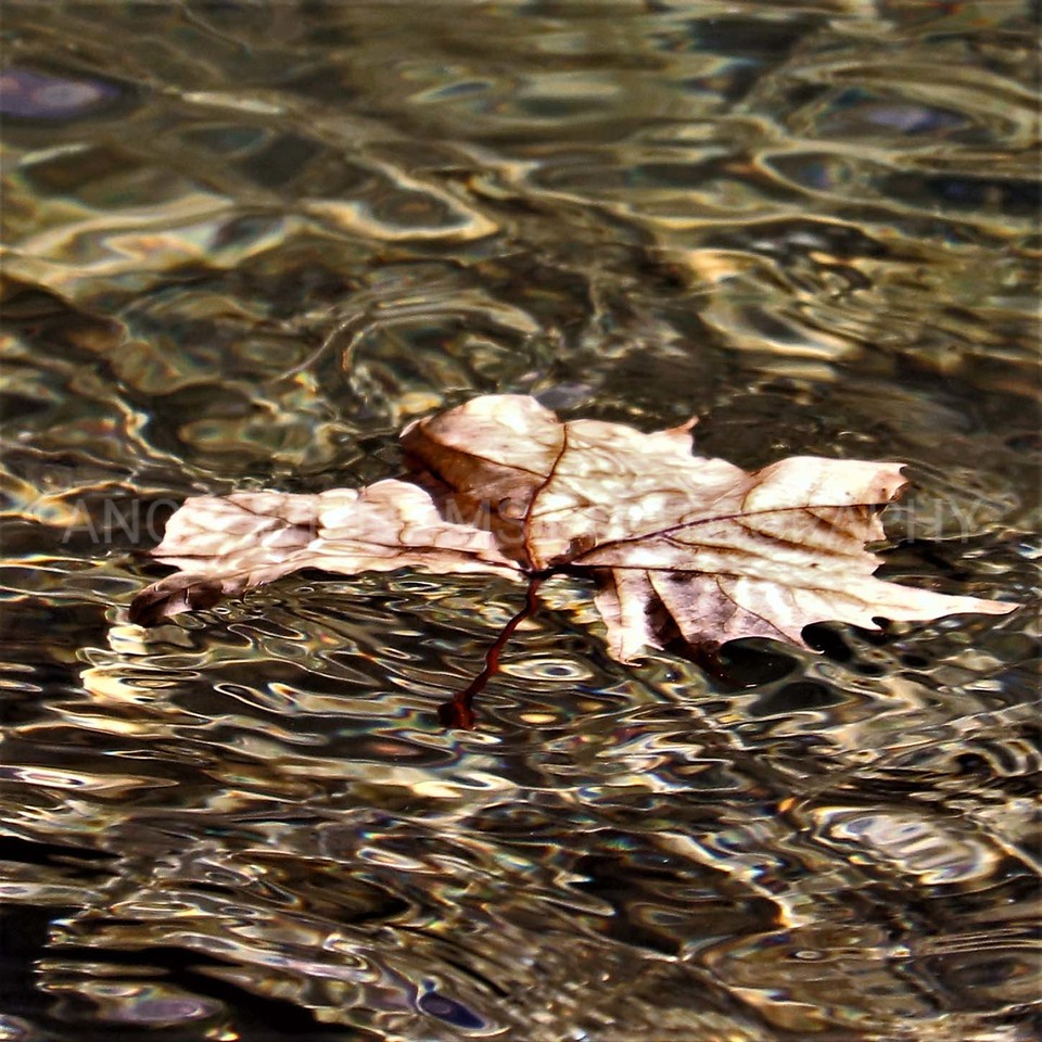 Solitary Leaf in Water