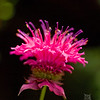 A portrait of a bee balm at the UNCA Botanical Gardens in Asheville NC