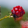 A portrait of blackberry fruit (rubus fruticosus) at the NC Arboretum in Asheville NC