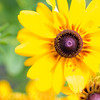 A portrait of Black-eyed Susans at the NC Arboretum in Asheville NC