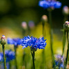 A portrait of cornflowers at the NC Arboretum in Asheville NC