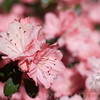 A portrait of a Azaleas in bloom.