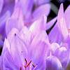 A portrait of an Autumn Crocus at the NC Arboretum in Asheville NC