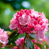 A portrait of Carol Mountain Laurel in bloom.