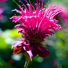 A portrait of a bee balm in bloom.