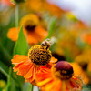A portrait of Helenium aka Common Sneezeweed at the NC Arboretum in Asheville NC with honeybee in attendance