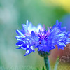 A portrait of a Cornflower at the NC Arboretum in Asheville NC
