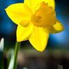 A portrait of a daffodil flower