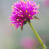 A portrait of Gomphrena 'Fireworks' at the NC Arboretum in Asheville NC