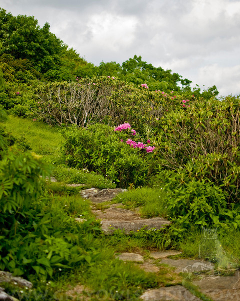 The lower garden at Craggy Pinnacle with Catawba Rhododendrons in bloom.