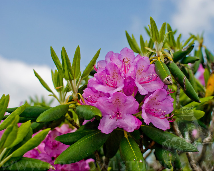 Portrait of Catawba Rhododendrons in full bloom in Craggy Gardens.