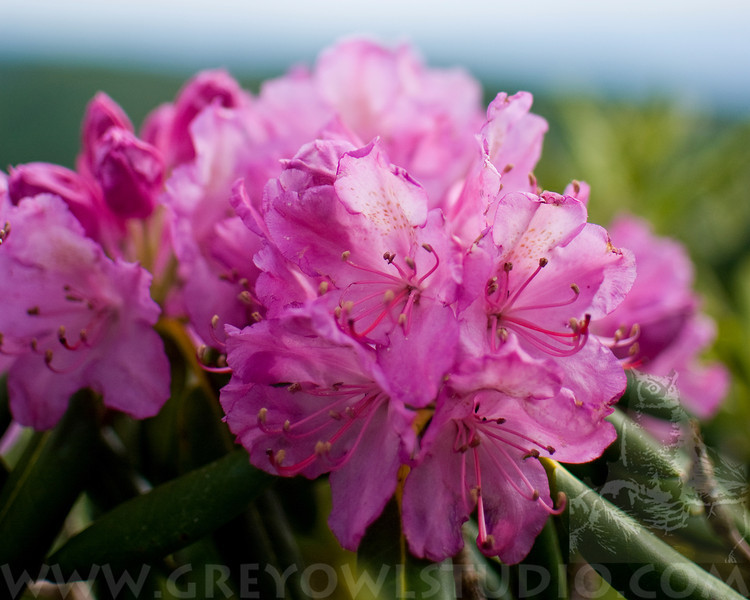 A portrait of blooming Catawba Rhododendrons