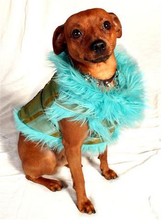 """Anastasia Winter Schipani Custom Clothier to the four-leggeds """"Blue Exotic"""" Model: Guapo"""