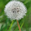 Dandilion Cottage Grove fine art photographer and photography