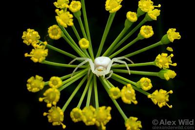 Misumenoides formosipes - white-banded crab spider