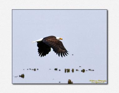 Heron and Eagles at Seabeck