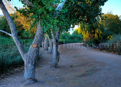 A magical walkway with a row of trees at the Sweetwater Wetlands water treatment facility in Tucson, Arizona.