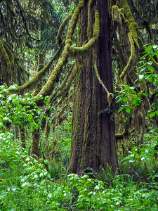 Moss, Tree, Ferns: Quinault Rain Forest