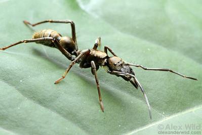 Sphecotypus niger - ant mimic spider