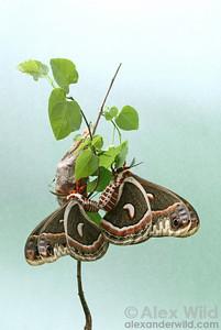 Hyalophora cecropia