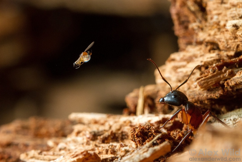 Apocephalus sp. - ant-decapitating fly
