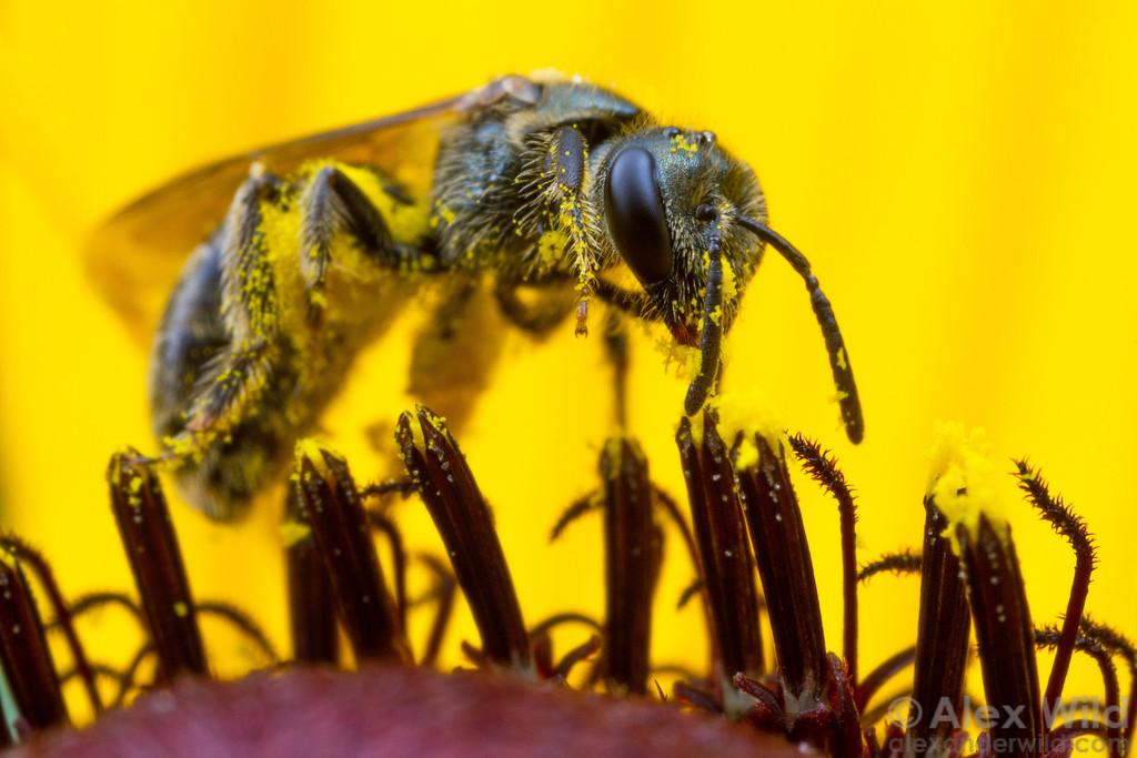 Lasioglossum sp. sweat bee