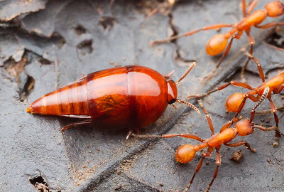 Vatesus rove beetle